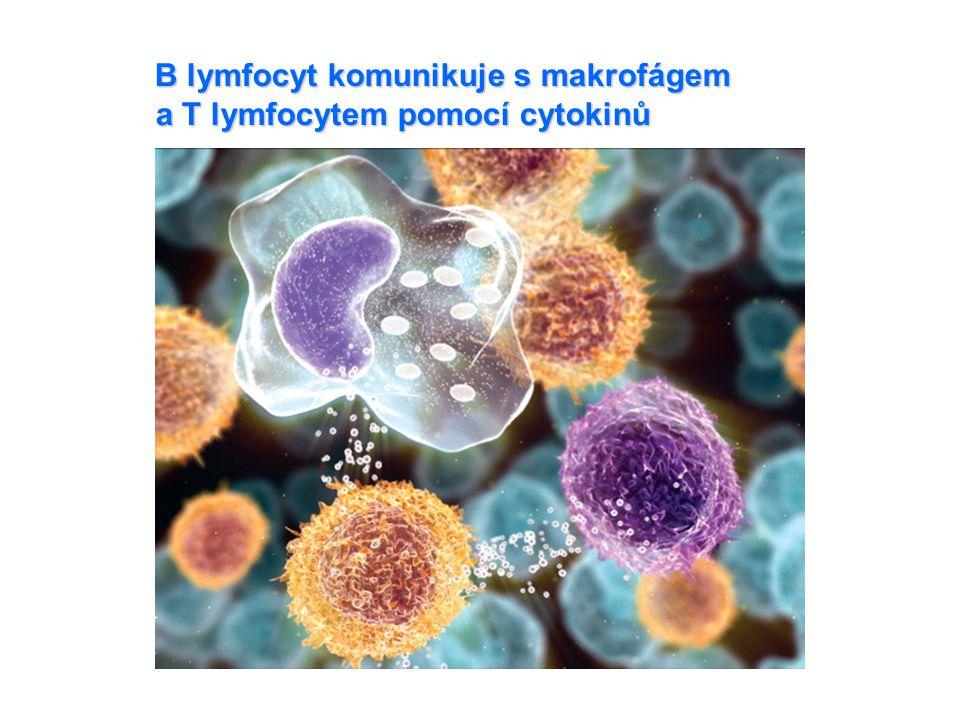B lymfocyt komunikuje s makrofágem a T lymfocytem pomocí cytokinů