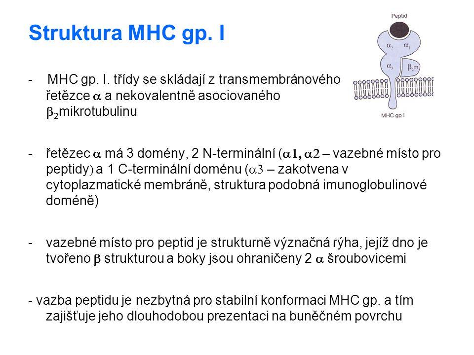 Struktura MHC gp. I - MHC gp. I. třídy se skládají z transmembránového řetězce a a nekovalentně asociovaného b2mikrotubulinu.