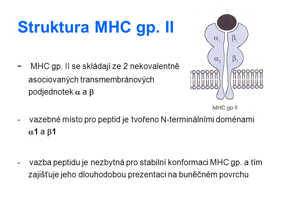 Struktura MHC gp. II - MHC gp. II se skládají ze 2 nekovalentně asociovaných transmembránových podjednotek a a b.