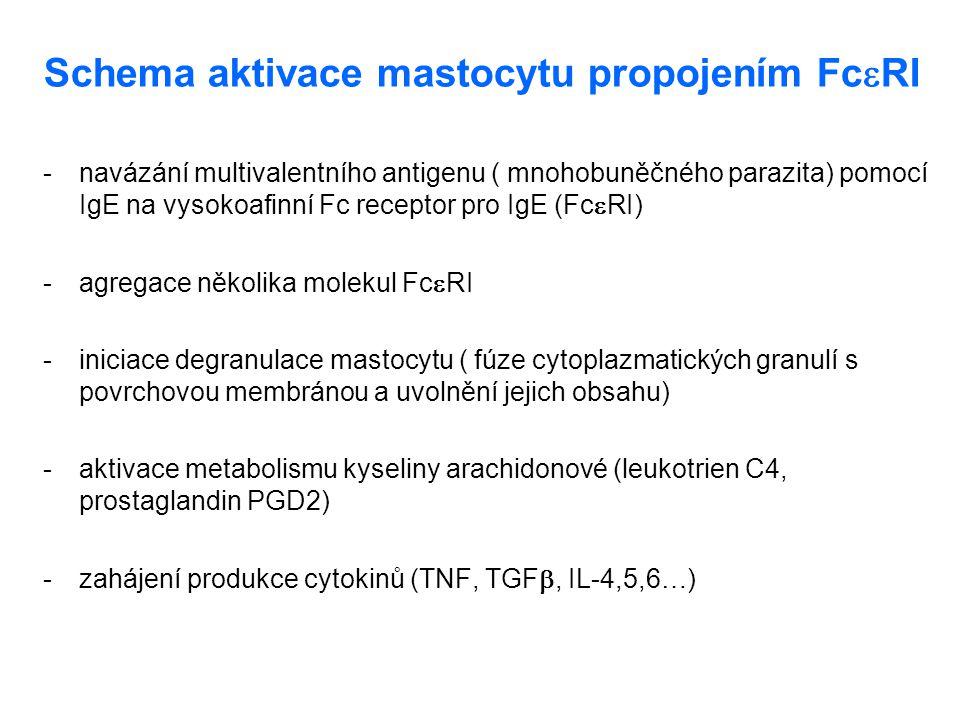Schema aktivace mastocytu propojením FcRI