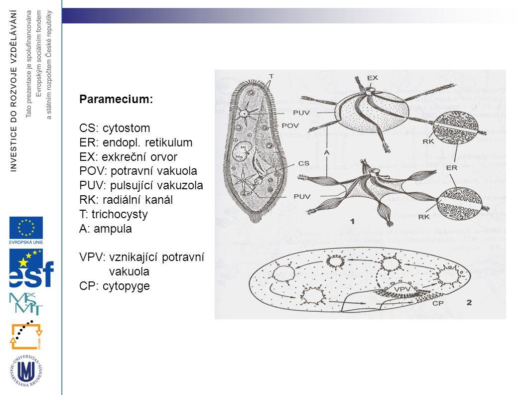 Paramecium: CS: cytostom. ER: endopl. retikulum. EX: exkreční orvor. POV: potravní vakuola. PUV: pulsující vakuzola.