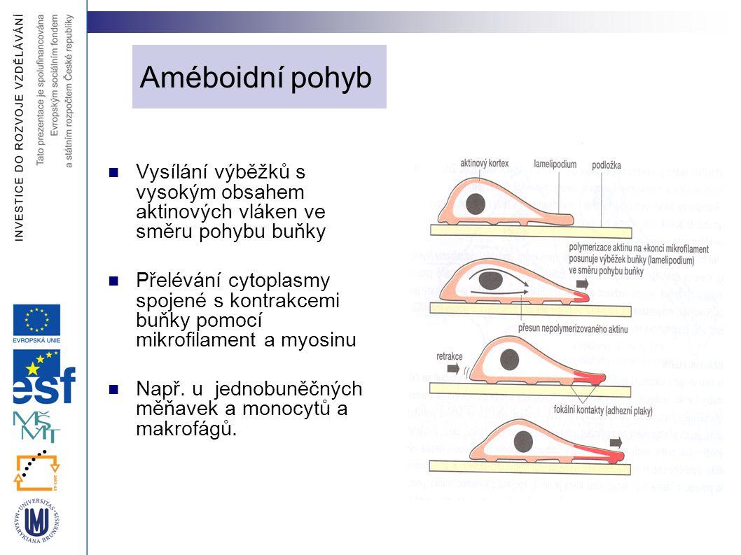Améboidní pohyb Vysílání výběžků s vysokým obsahem aktinových vláken ve směru pohybu buňky.