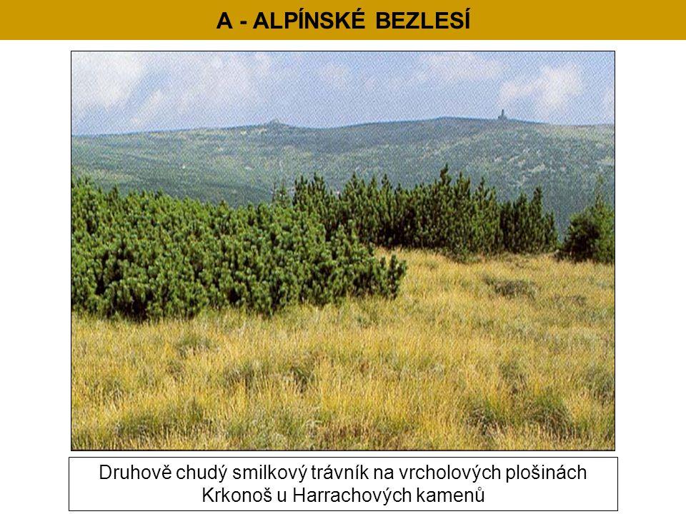 A - ALPÍNSKÉ BEZLESÍ Druhově chudý smilkový trávník na vrcholových plošinách Krkonoš u Harrachových kamenů.