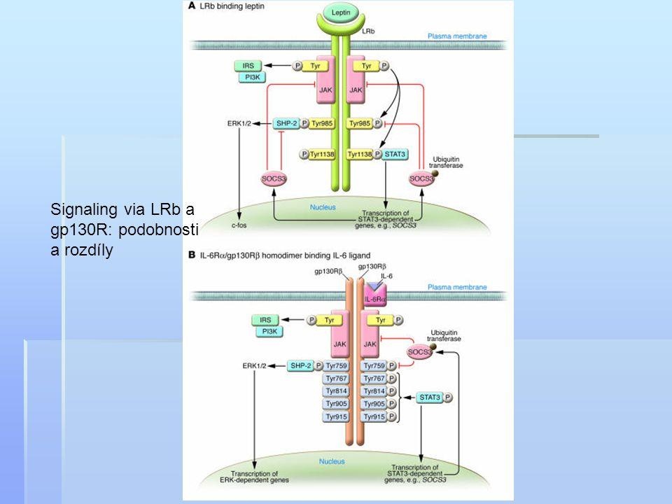 Signaling via LRb a gp130R: podobnosti a rozdíly