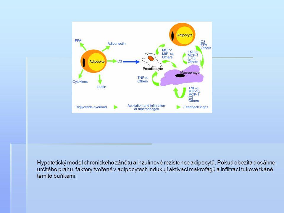 Hypotetický model chronického zánětu a inzulínové rezistence adipocytů