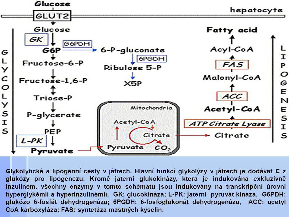 Glykolytické a lipogenní cesty v játrech