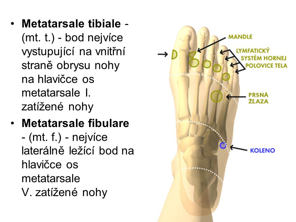 Metatarsale tibiale - (mt. t
