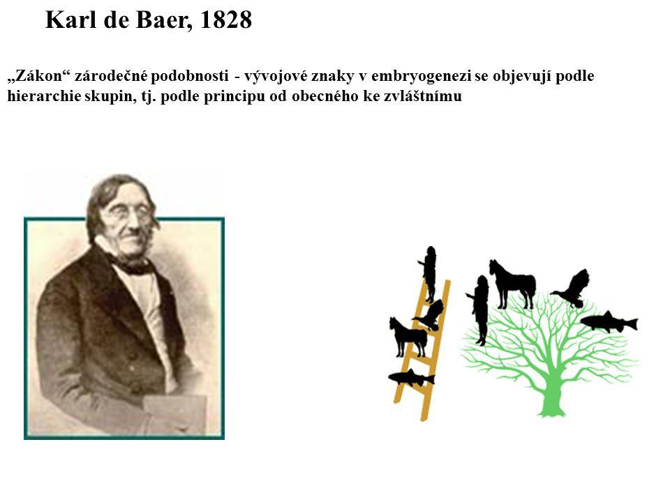 """Karl de Baer, 1828 """"Zákon zárodečné podobnosti - vývojové znaky v embryogenezi se objevují podle."""
