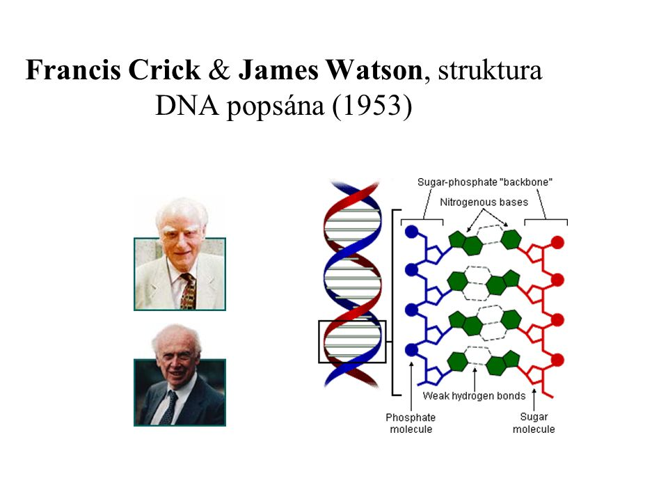 Francis Crick & James Watson, struktura DNA popsána (1953)