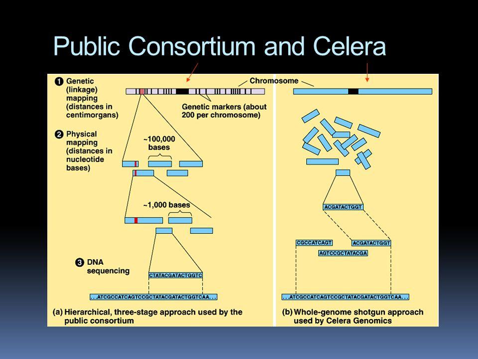 Public Consortium and Celera