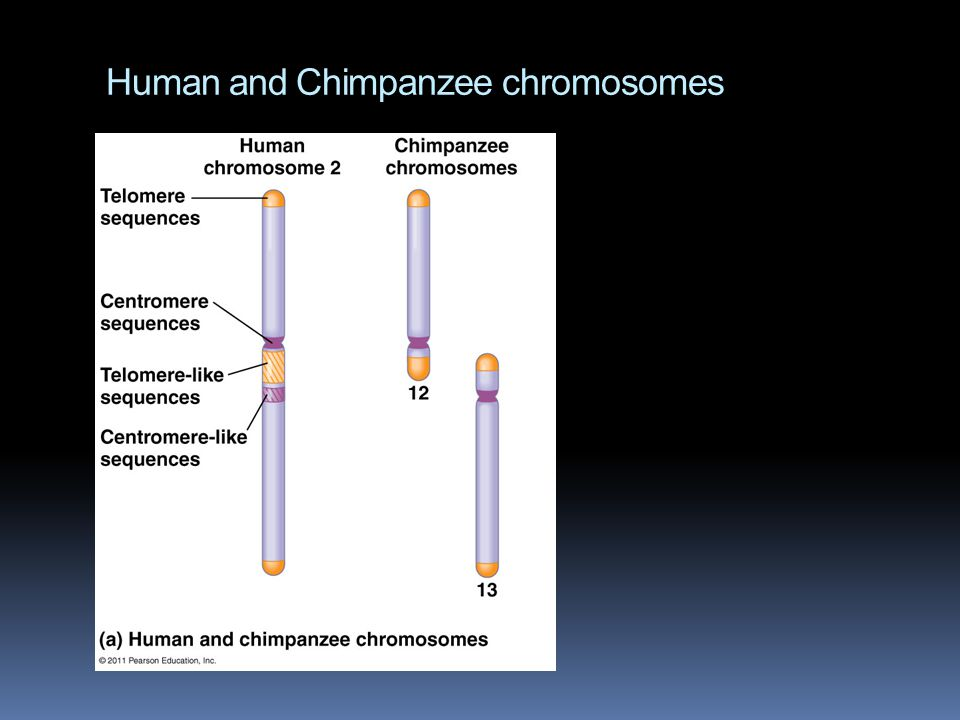 Human and Chimpanzee chromosomes