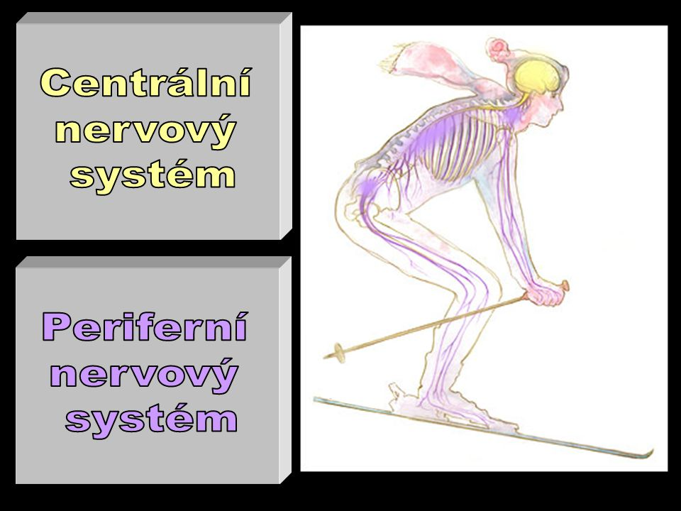 Centrální nervový systém Periferní nervový systém