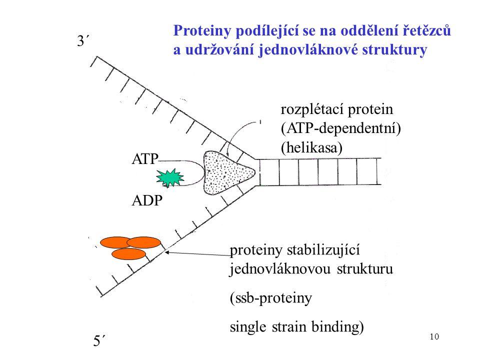 Proteiny podílející se na oddělení řetězců a udržování jednovláknové struktury