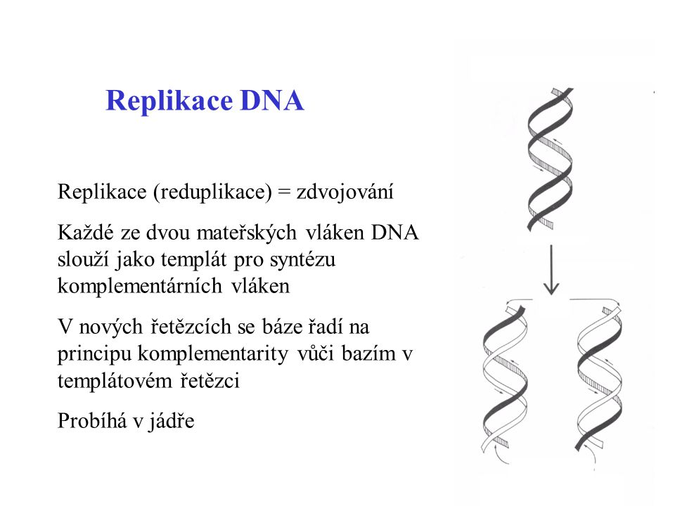 Replikace DNA Replikace (reduplikace) = zdvojování