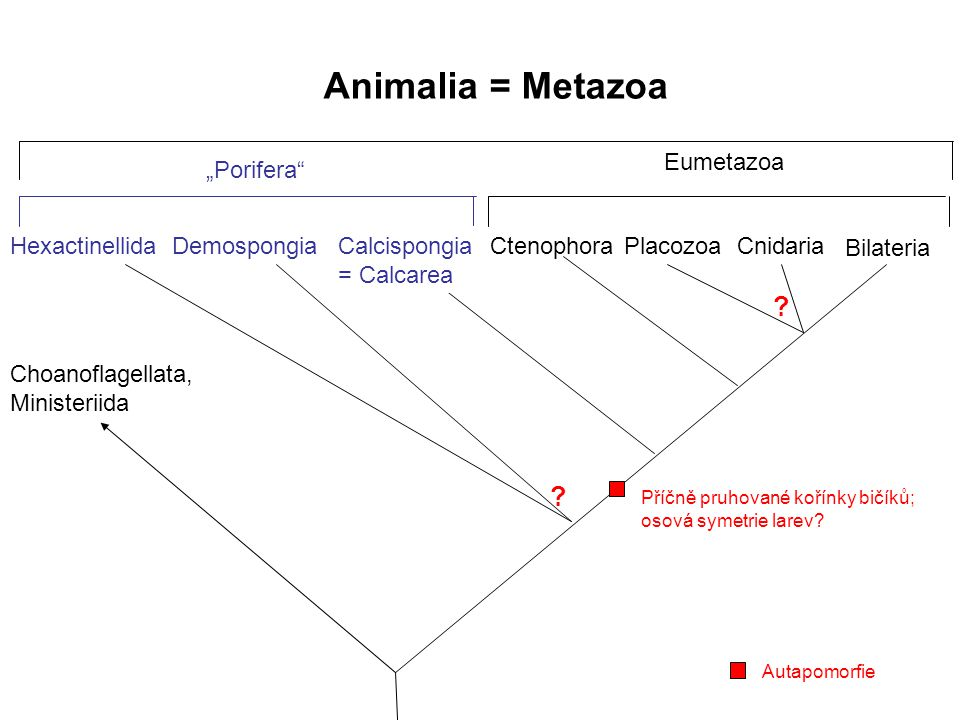 Animalia = Metazoa Hexactinellida Bilateria Cnidaria Placozoa