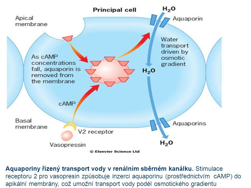 Aquaporiny řízený transport vody v renálním sběrném kanálku. Stimulace