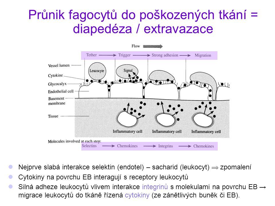 Průnik fagocytů do poškozených tkání = diapedéza / extravazace