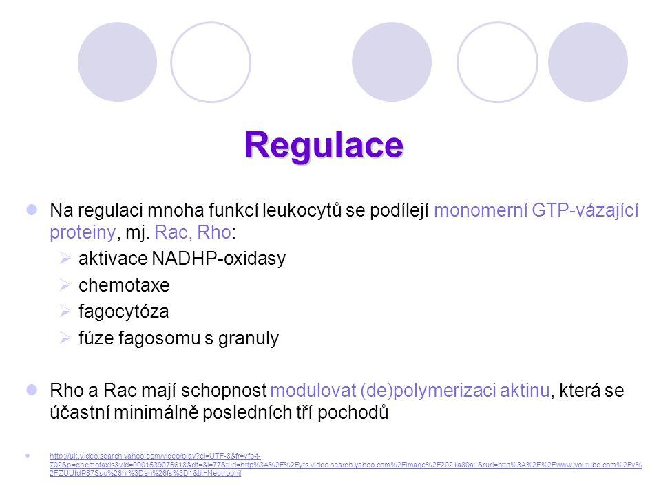 Regulace Na regulaci mnoha funkcí leukocytů se podílejí monomerní GTP-vázající proteiny, mj. Rac, Rho:
