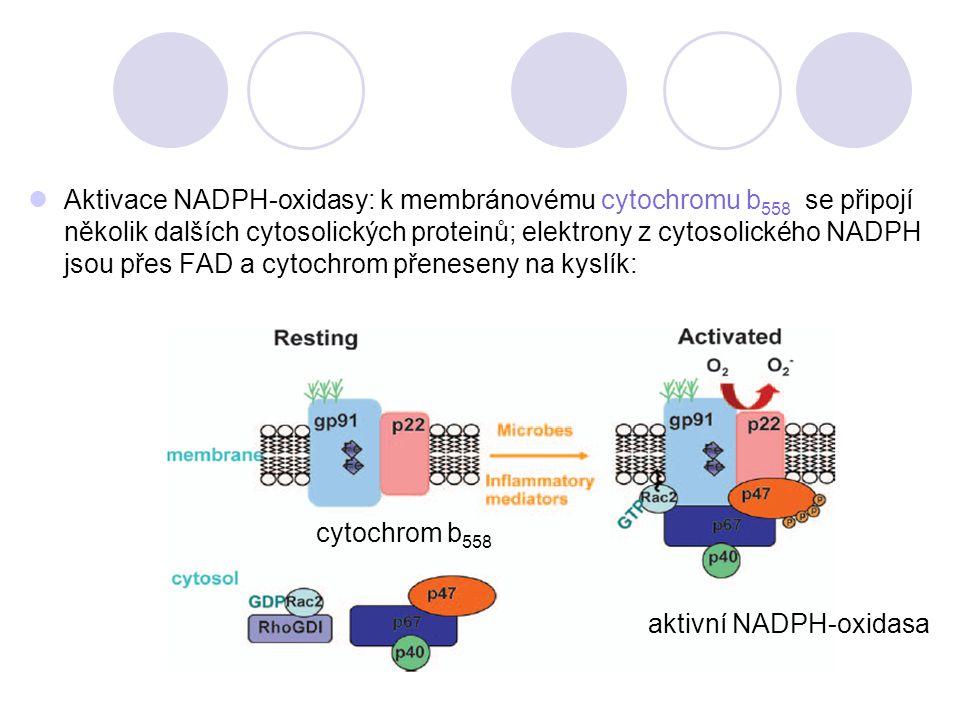 Aktivace NADPH-oxidasy: k membránovému cytochromu b558 se připojí několik dalších cytosolických proteinů; elektrony z cytosolického NADPH jsou přes FAD a cytochrom přeneseny na kyslík: