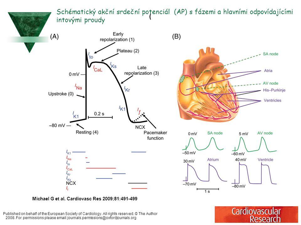 Schématický akční srdeční potenciál (AP) s fázemi a hlavními odpovídajícími intovými proudy