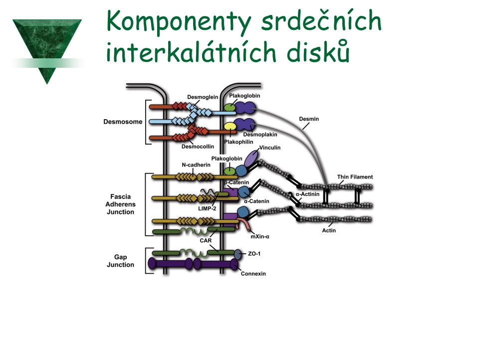 Komponenty srdečních interkalátních disků