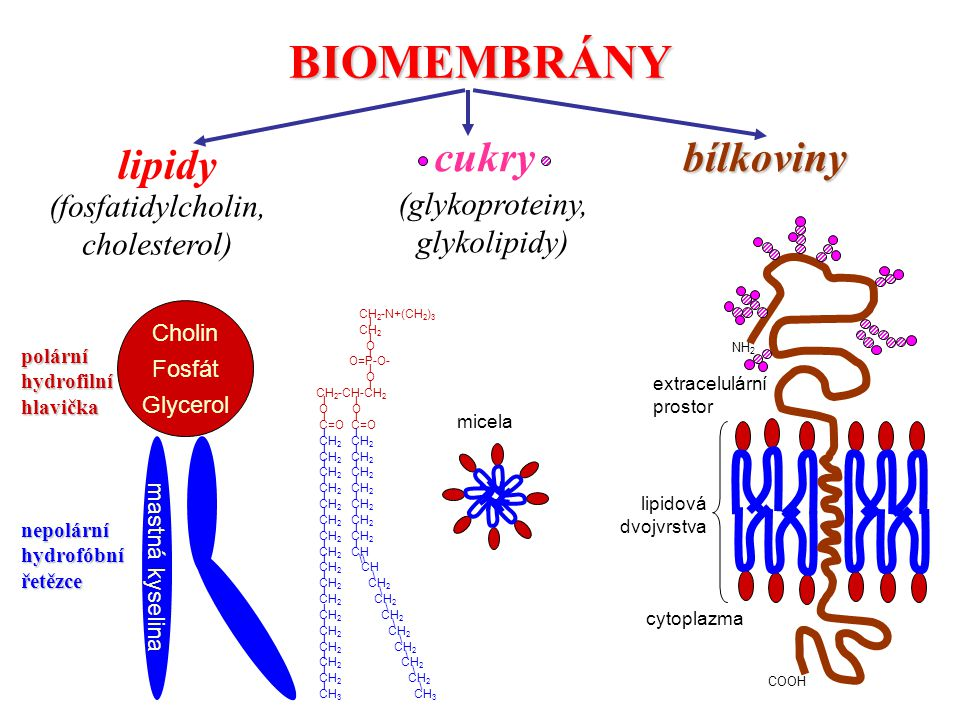 BIOMEMBRÁNY cukry bílkoviny lipidy (fosfatidylcholin, (glykoproteiny,