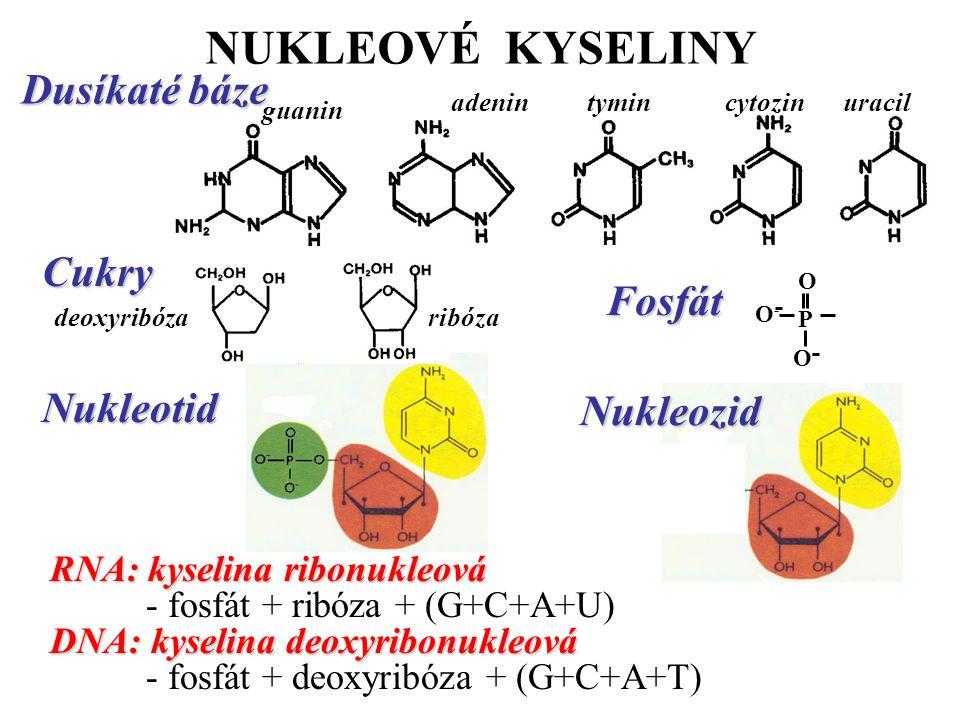 NUKLEOVÉ KYSELINY Dusíkaté báze Cukry Fosfát Nukleotid Nukleozid