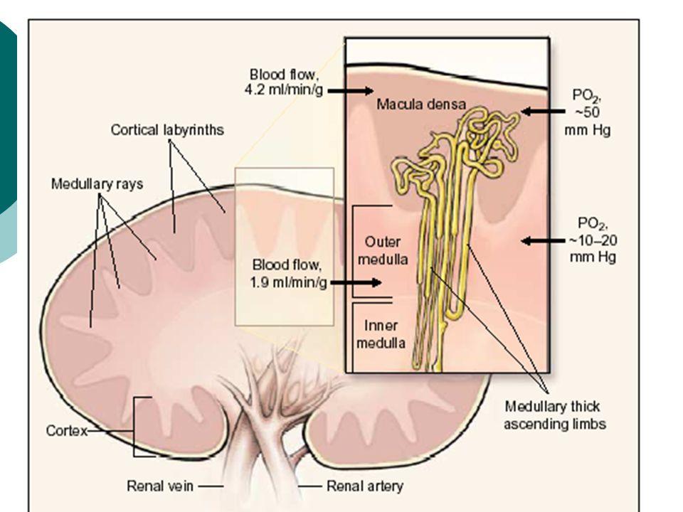 Redukce GFR je většinou sekundární po tubulointersticiálním postižení