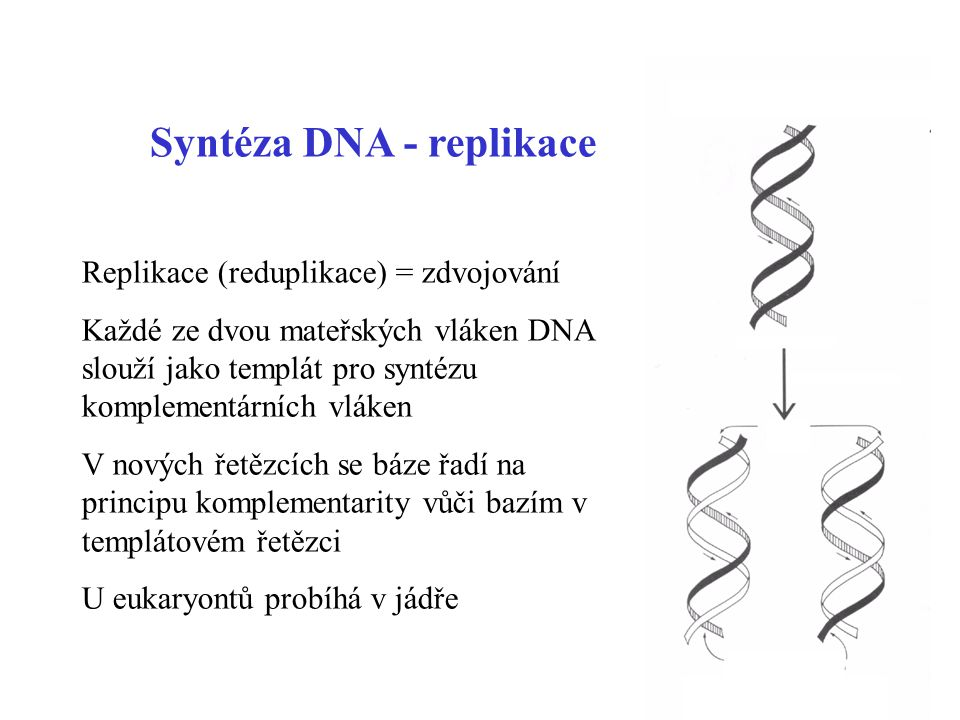 Syntéza DNA - replikace