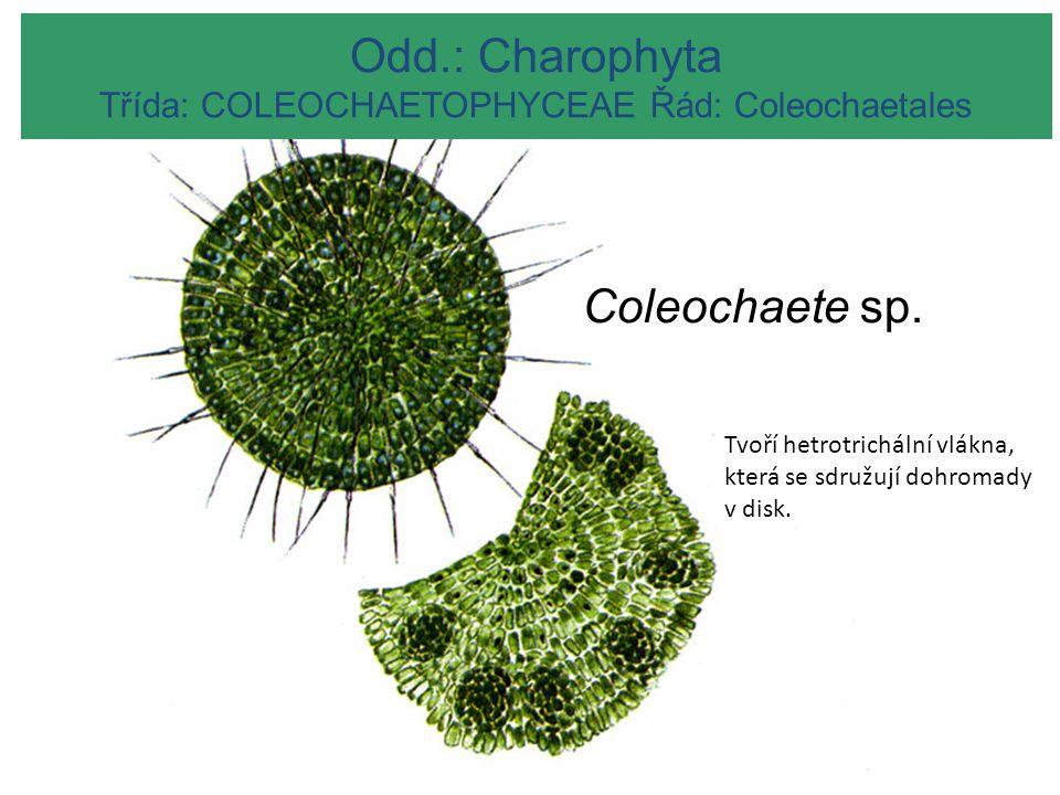 Odd.: Charophyta Třída: COLEOCHAETOPHYCEAE Řád: Coleochaetales