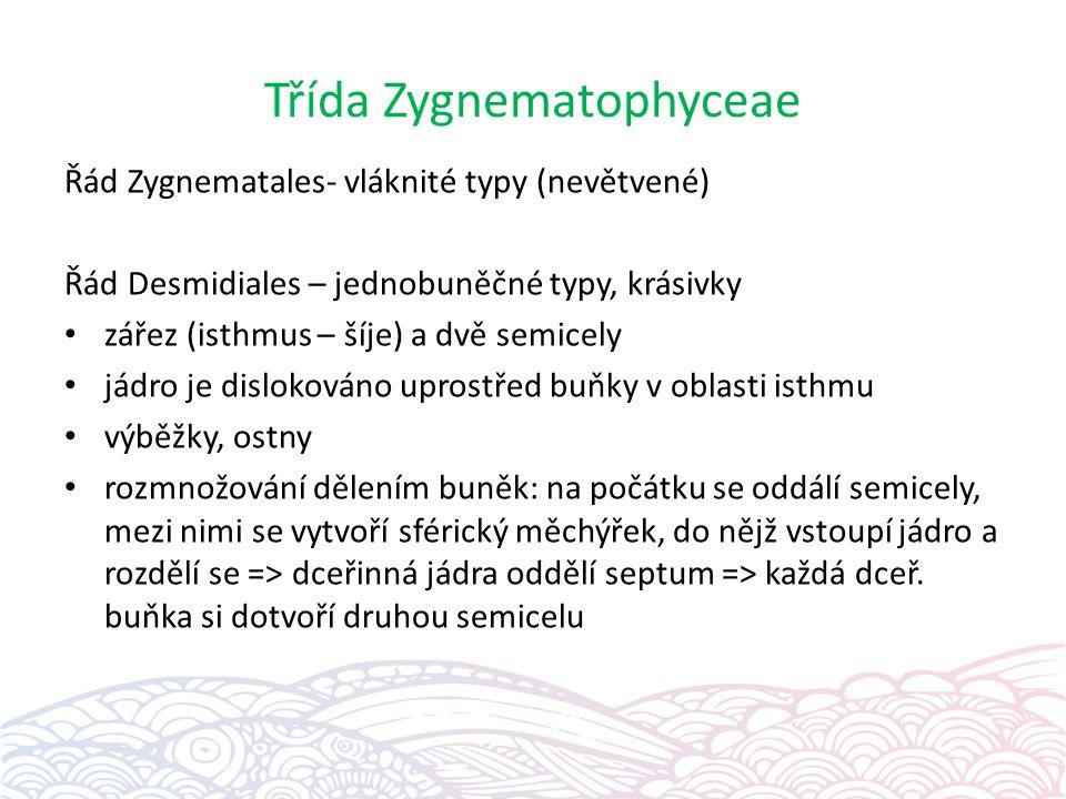 Třída Zygnematophyceae