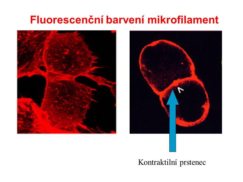 Fluorescenční barvení mikrofilament