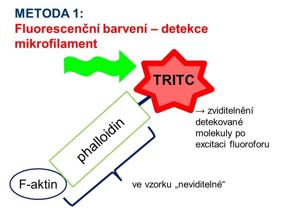 METODA 1: Fluorescenční barvení – detekce mikrofilament