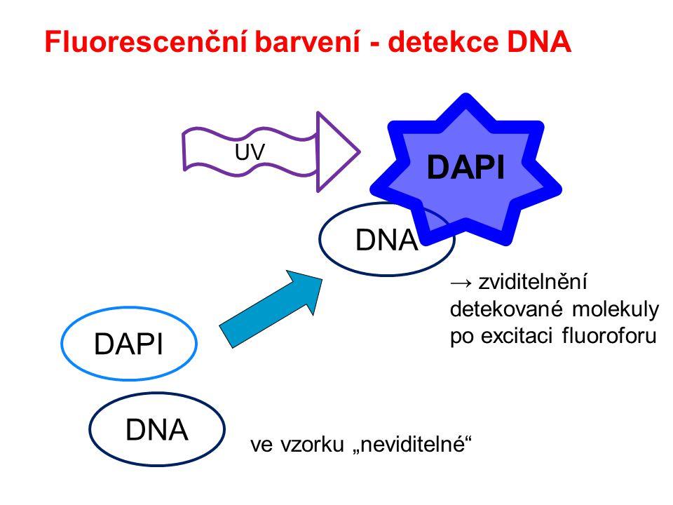 Fluorescenční barvení - detekce DNA