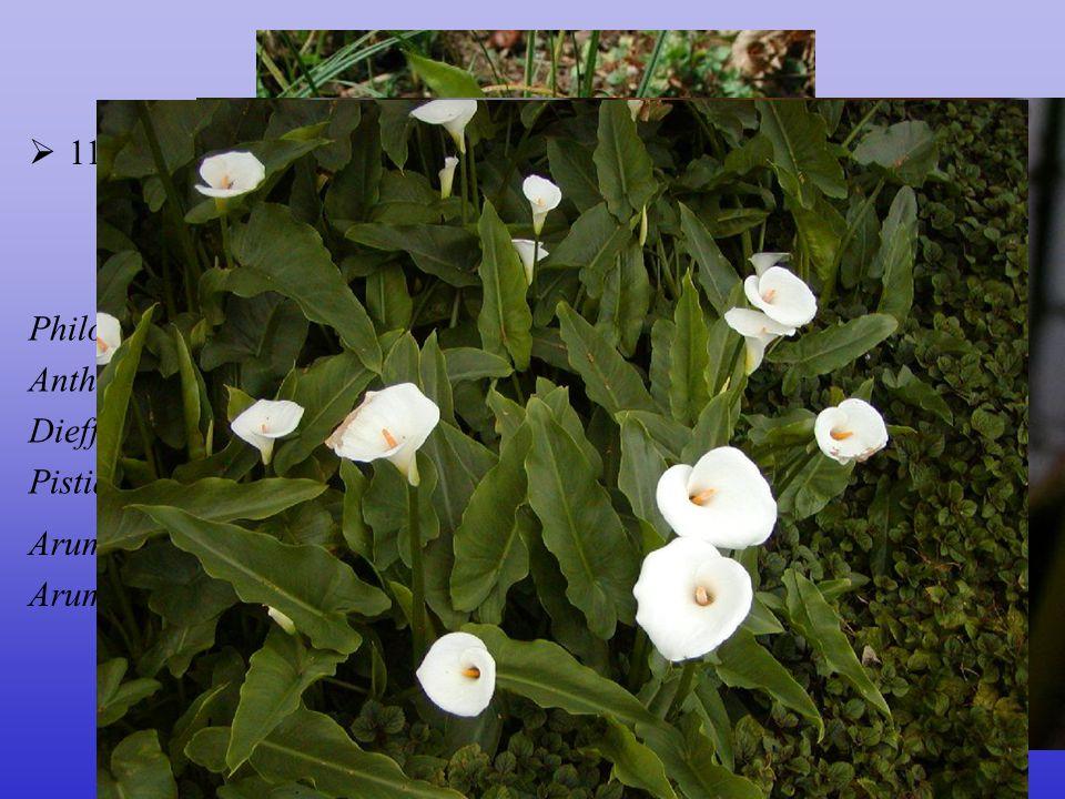 Araceae 110/3000; téměř kosmopolitní, centrum tropy