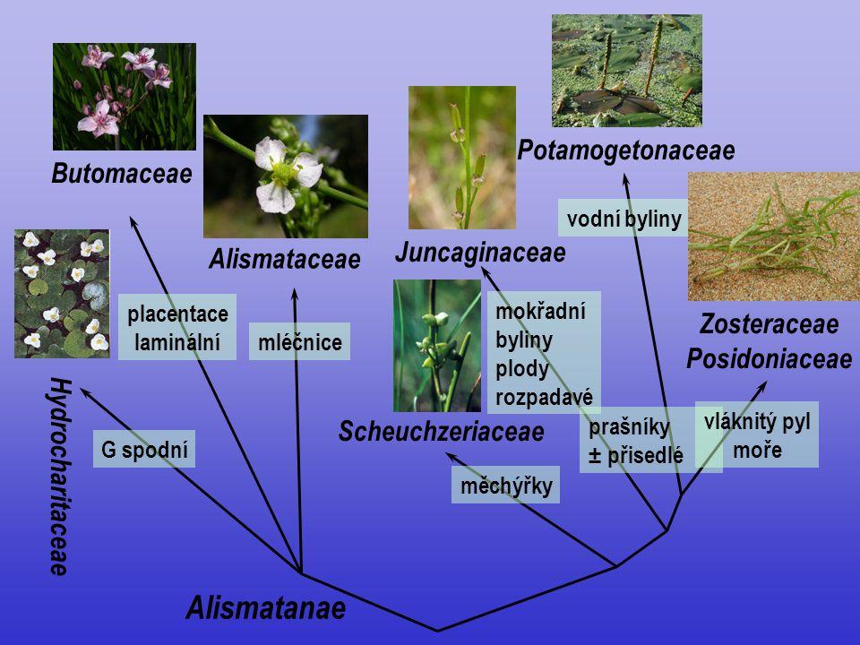Zosteraceae Posidoniaceae