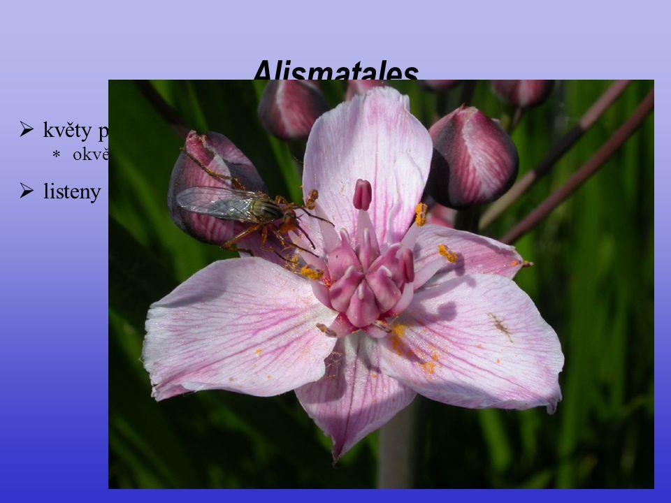 Alismatales květy poměrně nápadné listeny často vyvinuté