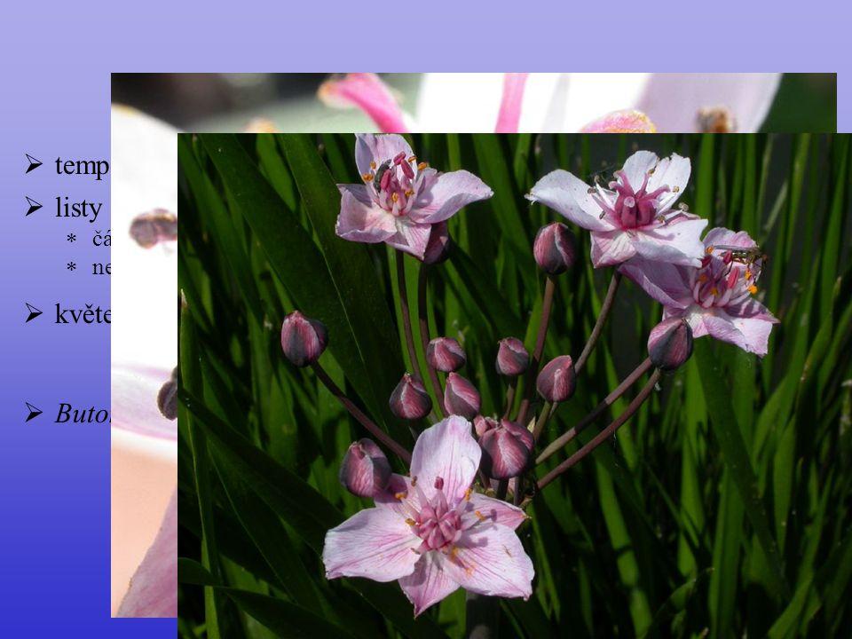 Butomaceae temperátní Eurasie listy květenství okolík