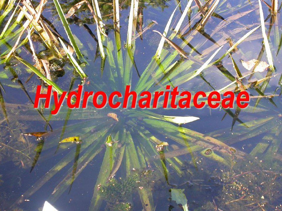 Hydrocharitaceae