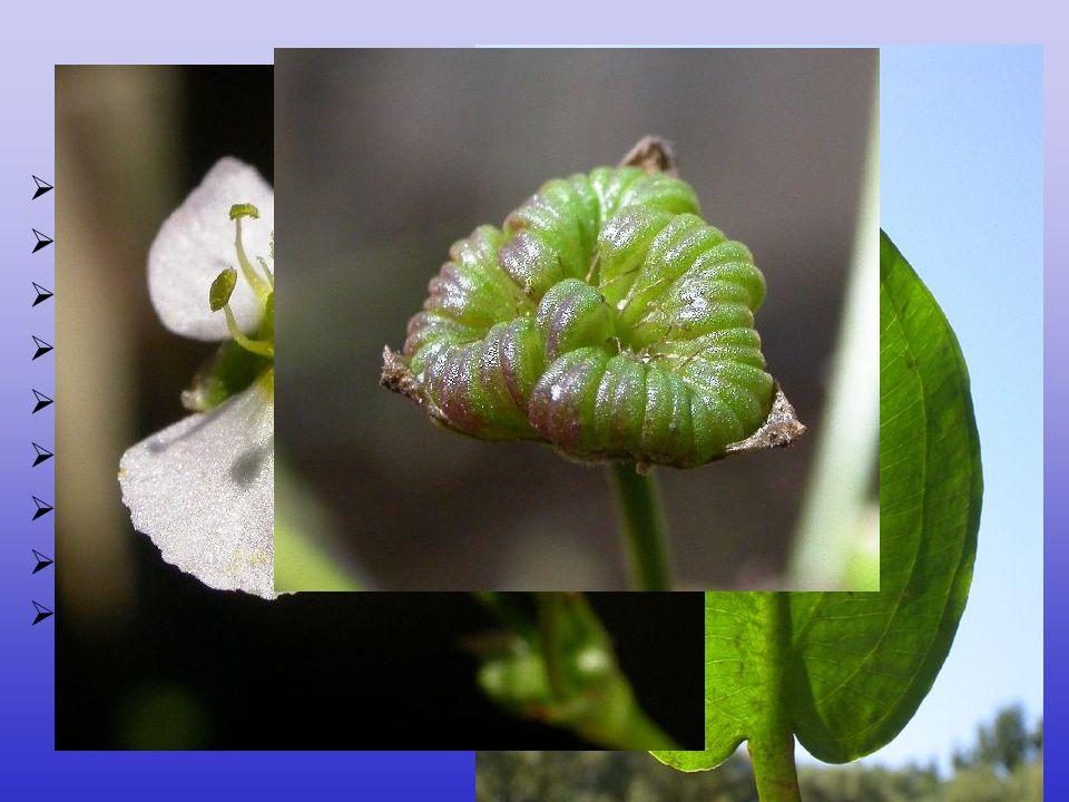 Alismataceae 12/80, téměř kosmopolitní mléčnice