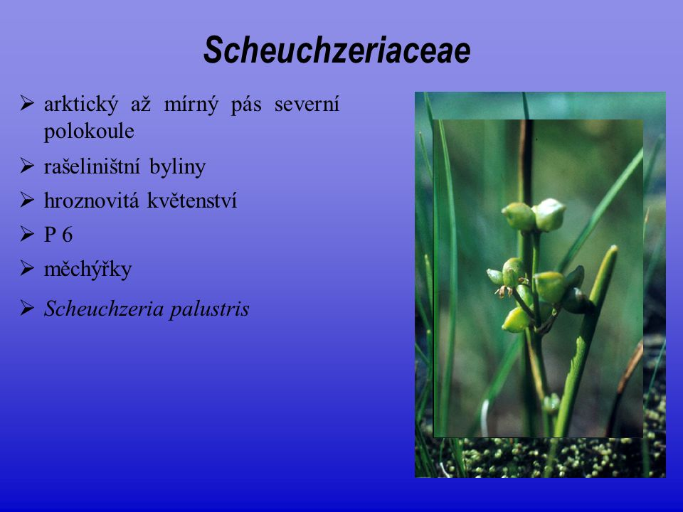 Scheuchzeriaceae arktický až mírný pás severní polokoule
