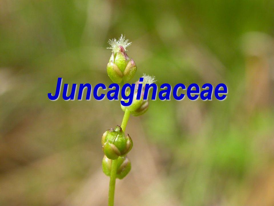 Juncaginaceae