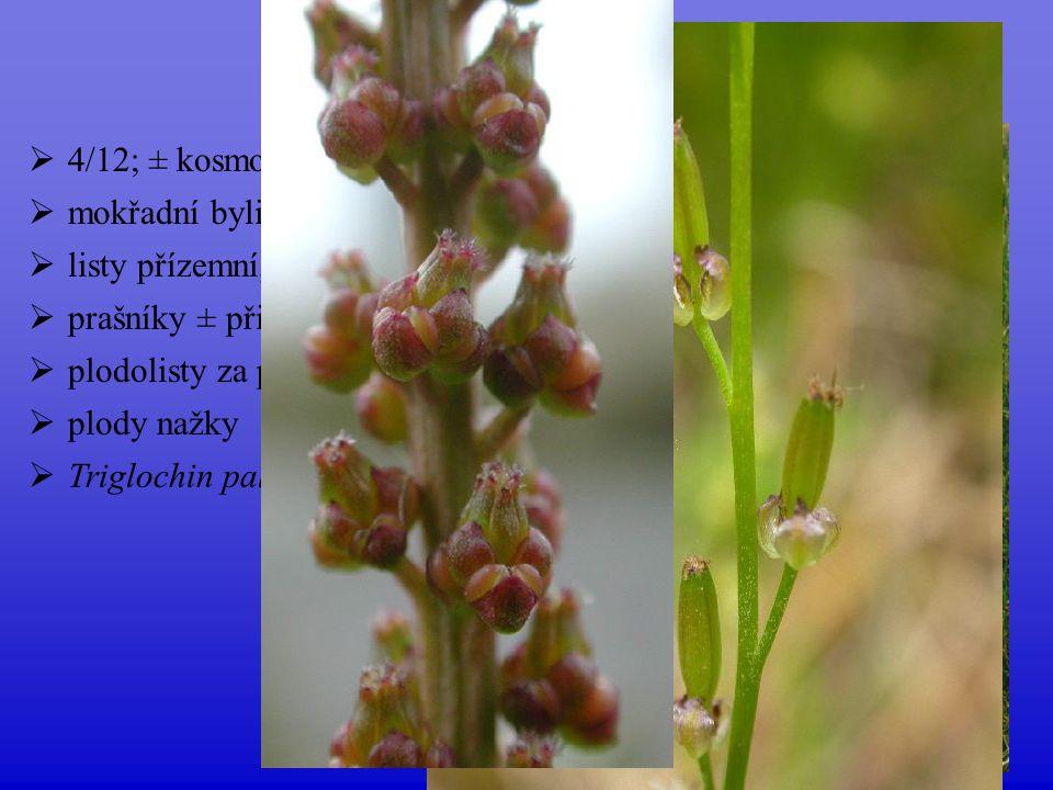 Juncaginaceae 4/12; ± kosmopolitní mokřadní byliny