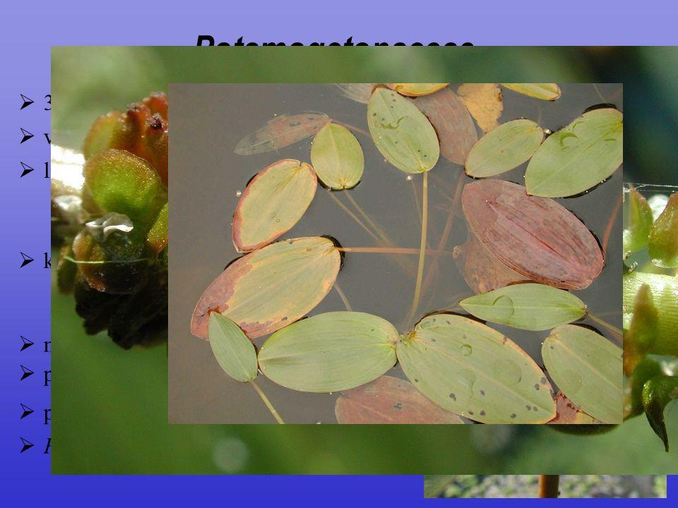 Potamogetonaceae 3/90; ± kosmopolitní
