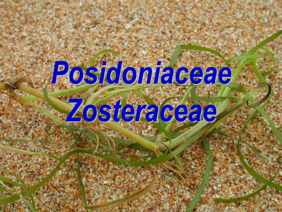 Posidoniaceae Zosteraceae