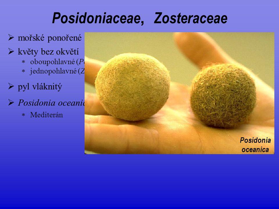 Posidoniaceae, Zosteraceae