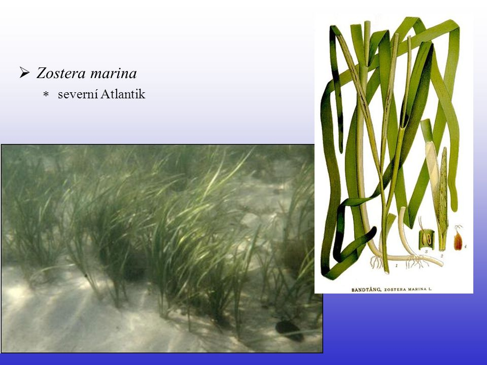 Zostera marina severní Atlantik