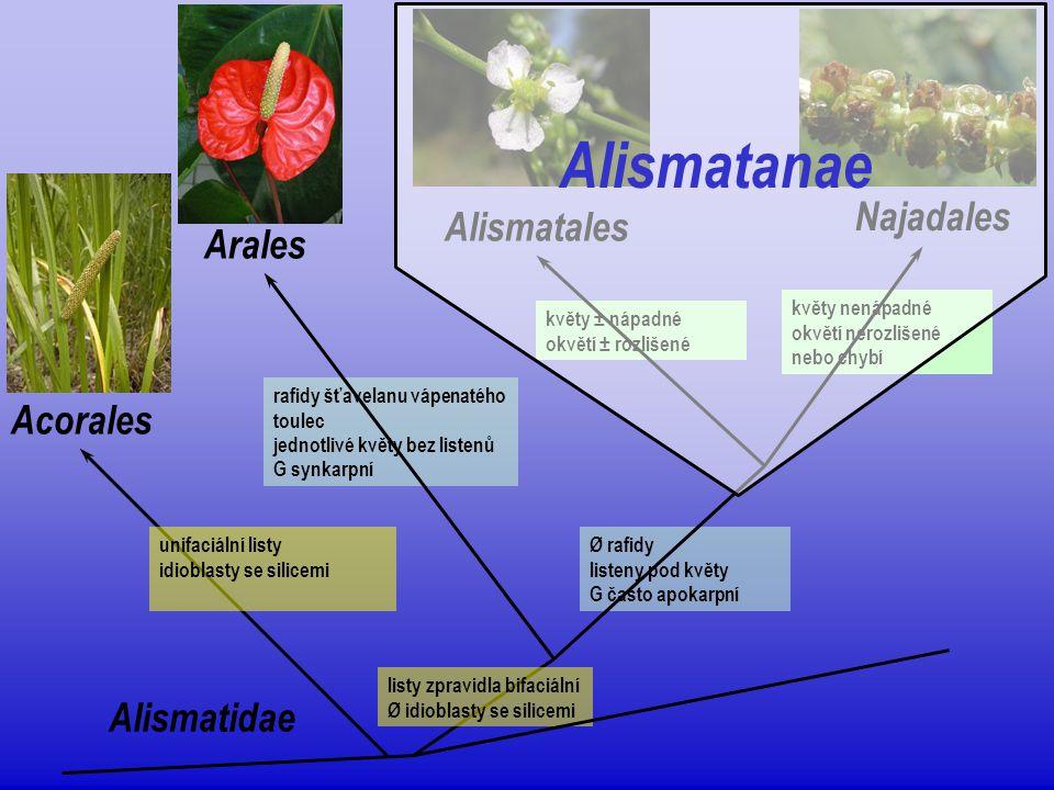 Alismatanae Najadales Alismatales Arales Acorales Alismatidae