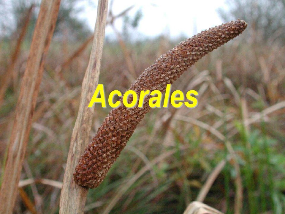 Acorales