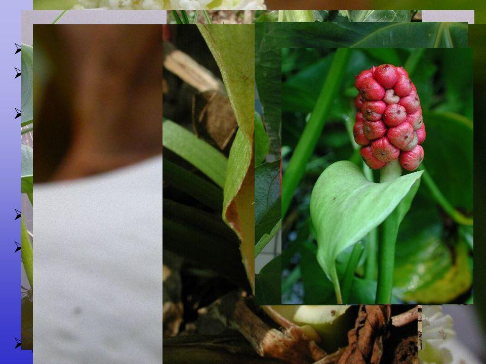 Arales byliny, bylinné křoviny nebo liány, ale též plovoucí rostliny